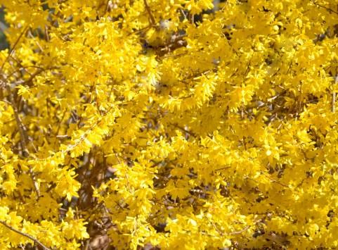 花色ベーシックカラー 黄色 レンギョウ