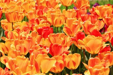 チューリップ 黄赤 オレンジ色