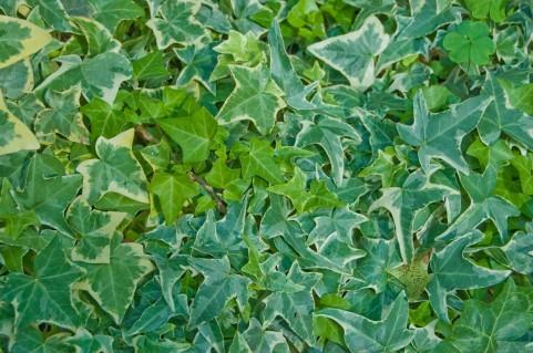 アイビー 緑色 花色ニュートラルカラー