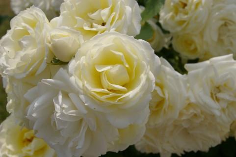 花色バリエーションカラー オフホワイト バラ