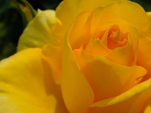 バラ たまご色