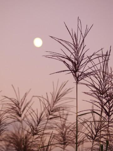 秋の七草 ススキ 尾花