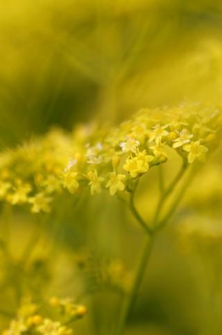 秋の七草 女郎花