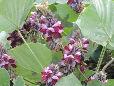 葛 葉の裏 花