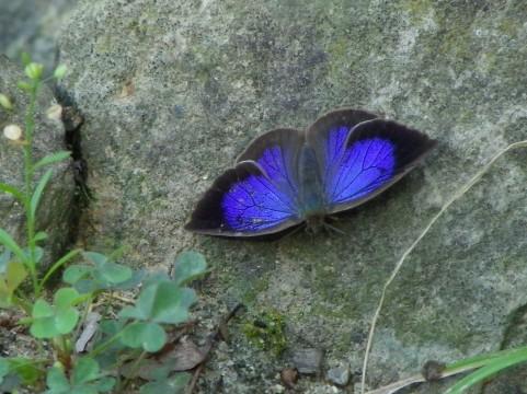 ムラサキシジミ  蝶々