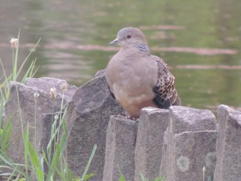 キジバト 山鳩